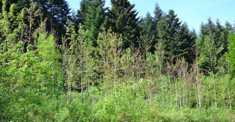 Plantation après la coupe